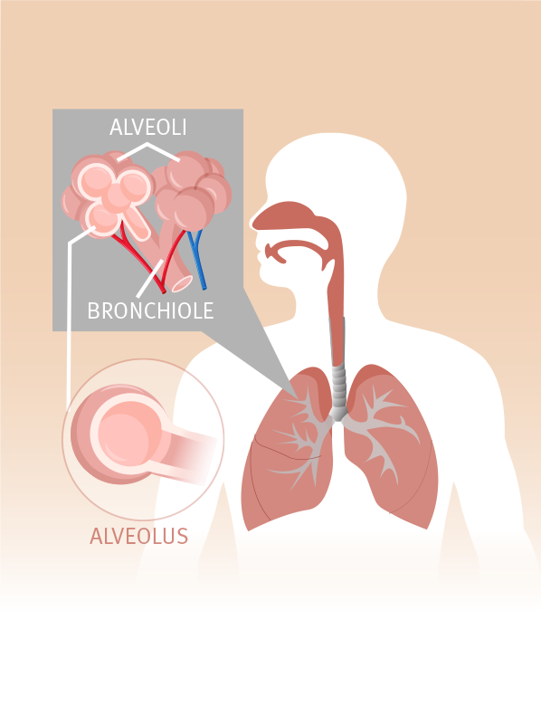 alveoli and bronchiole in healthy human lungs
